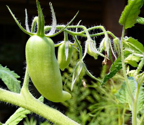 Roma-tomatoes