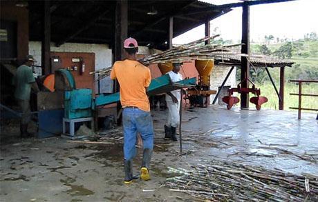 Grinding sugar cane