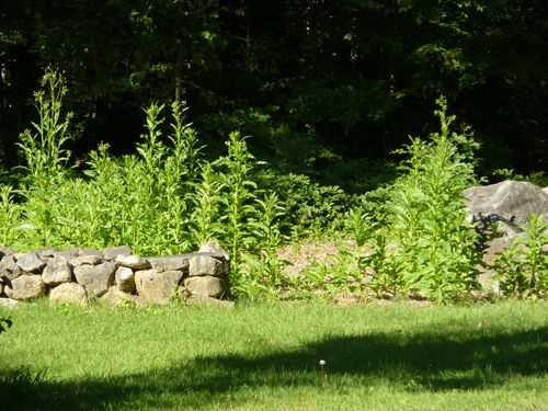 The weeds, taller than I am!