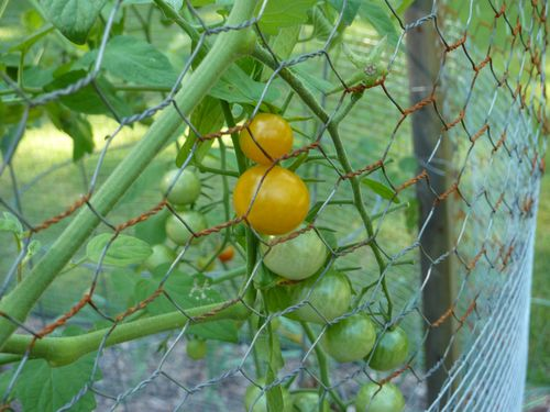 Sungold tomatoes.