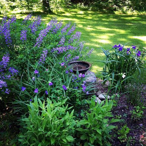 Purple blossoms in the perennial border.