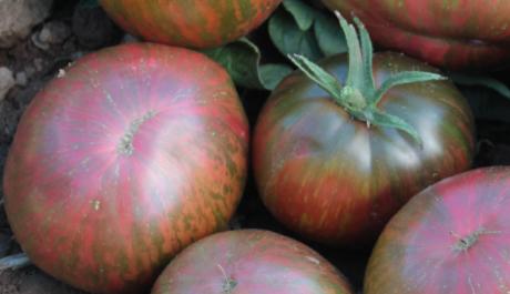 Banner-pink-berkeley-tomato-JAN14