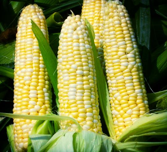 Sweet+Corn